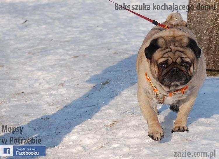 mops_Baks_szuka_domu_08