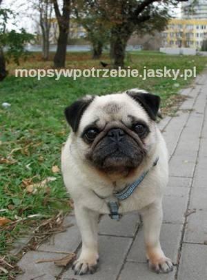 do_adopcji_mopsy_w_potrzebie_tamisia