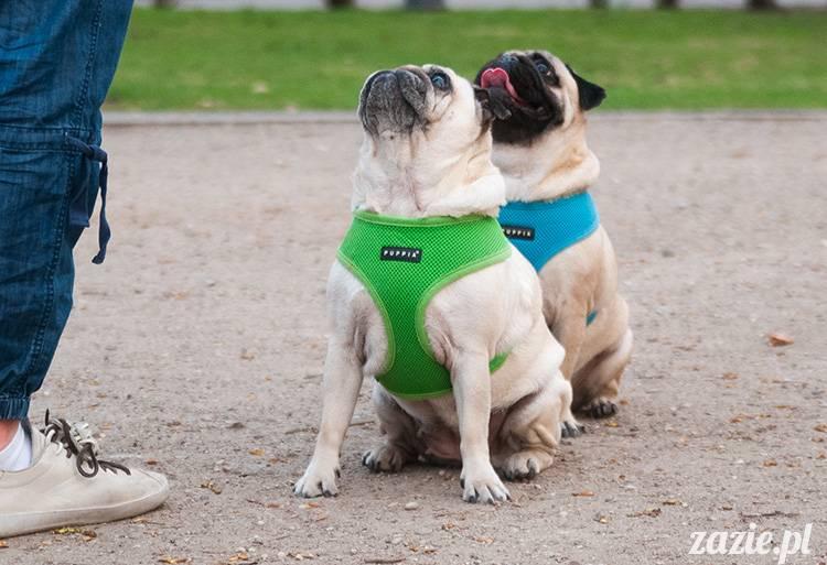 mopsy zadają szyku w parku i na trawniku
