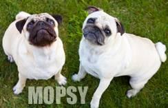 bannerek_mopsy