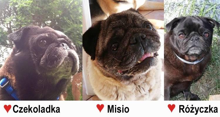 lato miłości czyli mopsy do adopcji:  ♥Różyczka ♥Czekoladka i ♥Misio