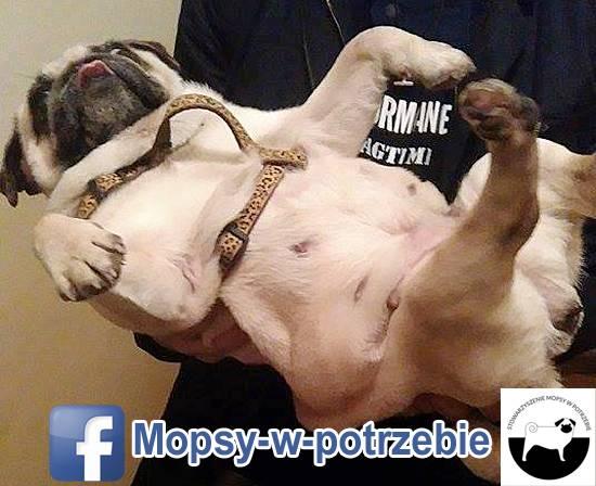 mops do adopcji, mopsy do adopcji, mopsy w potrzebie, zaadoptuję mopsa, oddam mopsa, przygarnę mopsa