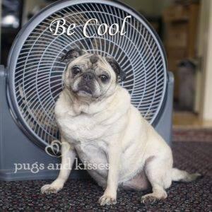 be_cool_pug