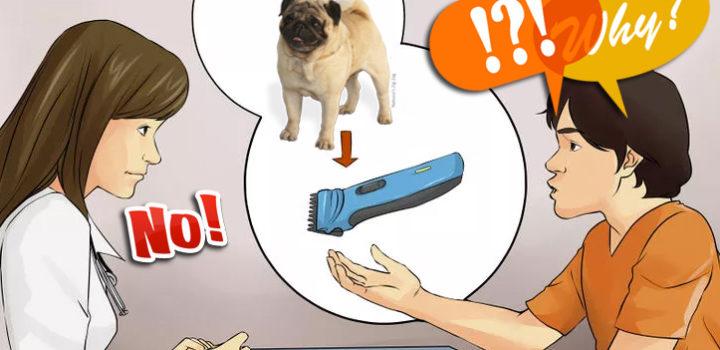 Mops w czasie upałów (1) ||  SIERŚĆ:  strzyc, golić, skracać? czy cierpliwie wyczesywać?