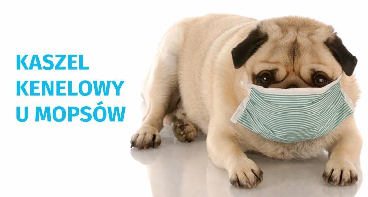 Gdy Twój mops kicha, kaszle i się zapowietrza…  ||   Brzydki i niezdrowy kaszel kenelowy