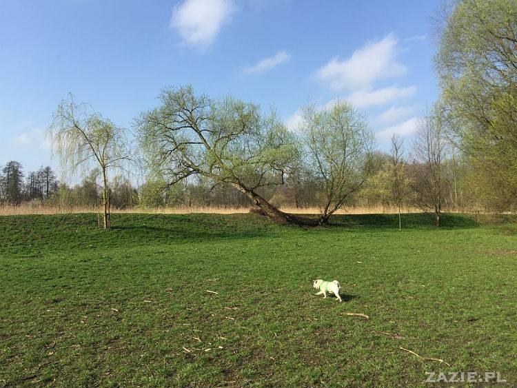 mopsy w Pruszkowie, Kumok i Miszur, mopsiki Zazie