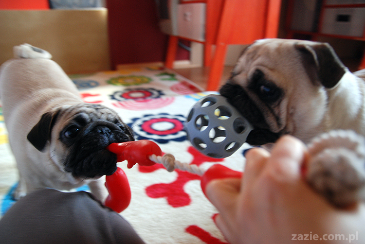 Kumok i Miszur mopsy mopsik mopsiki pug pugs