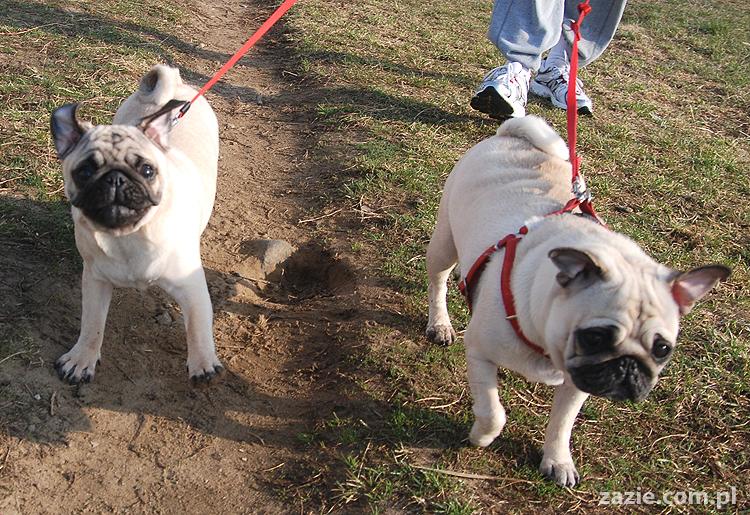 Kumok i Miszur mopsy na spacerze pugs