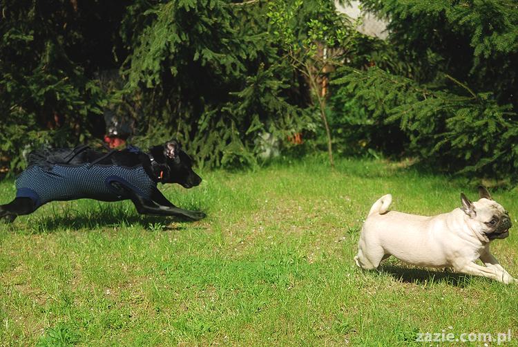 mopsy Kumok i Miszur oraz labradorka Beja