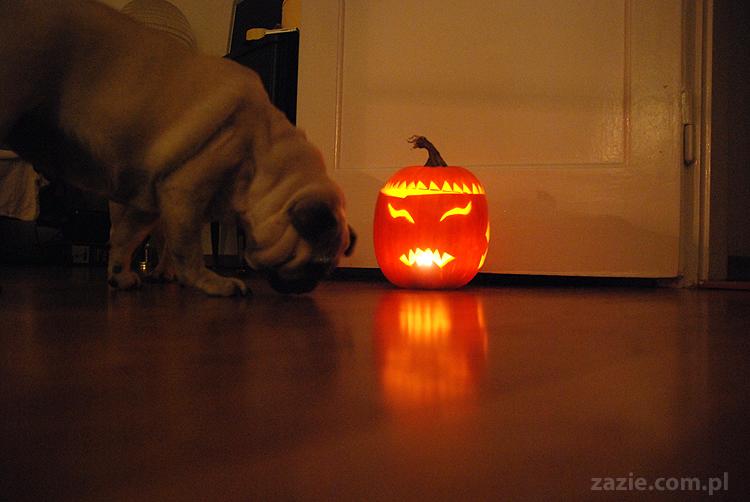 pugs & halloween pumpkin mopsy i dynia na halloween