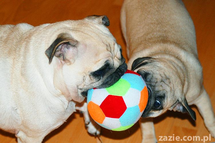 Kumok i Miszur mopsy bawią się piłką pugs at play