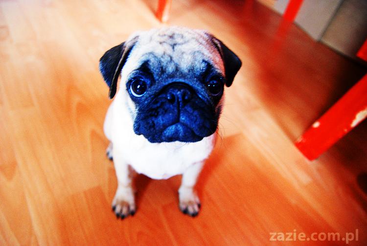 Kumok i Miszur życie z mopsami living with pugs śmieszne psy