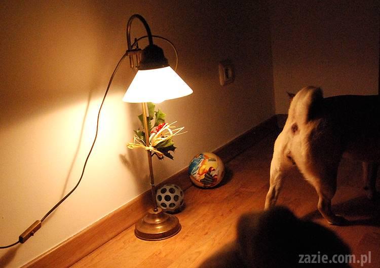 spotkanie mopsiarzy mopsy kumok miszur pajda bułka kromka balbinka klops hector leon moma mops pug pugs