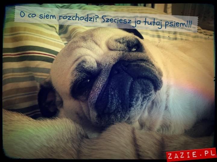 kumoczek_miszurek_pobudka_mopsy_mopsiki