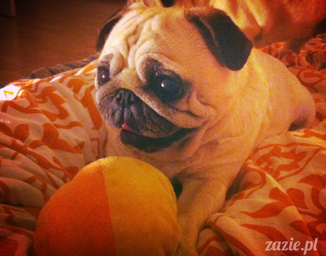 spanie z psem w łóżku, mops śpi na poduszce, pies śpi razem ze swoim właścicielem, czy pozwalacie psu spać w łóżku i wchodzić do łózka?