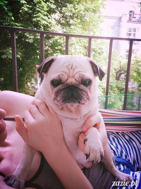 mopsik_mopsy_pug_pugs_kumok_miszur_zazie_