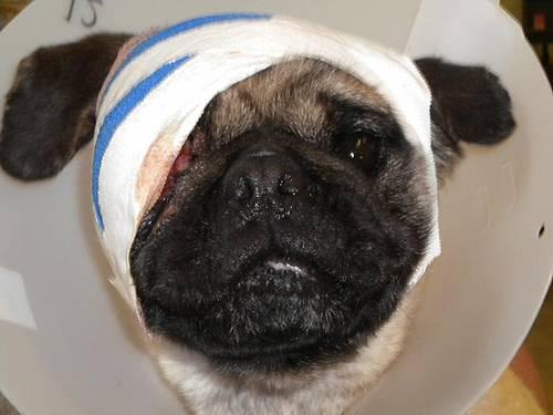 injured_pug2