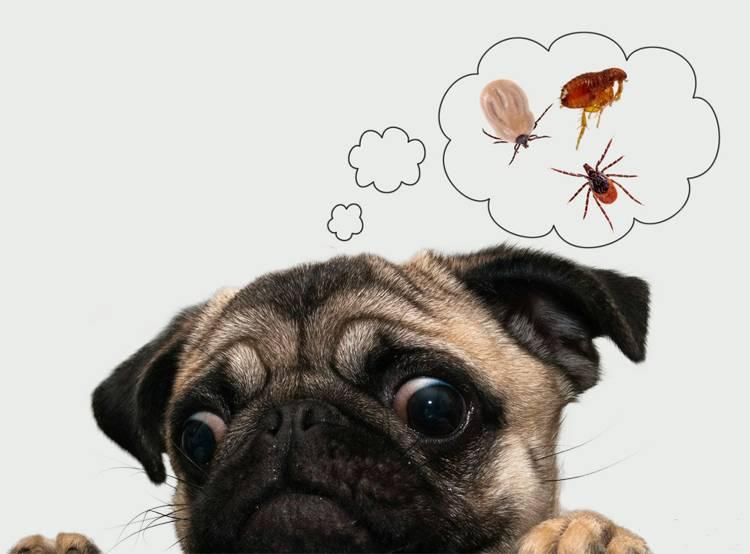 mops_insekty_owady