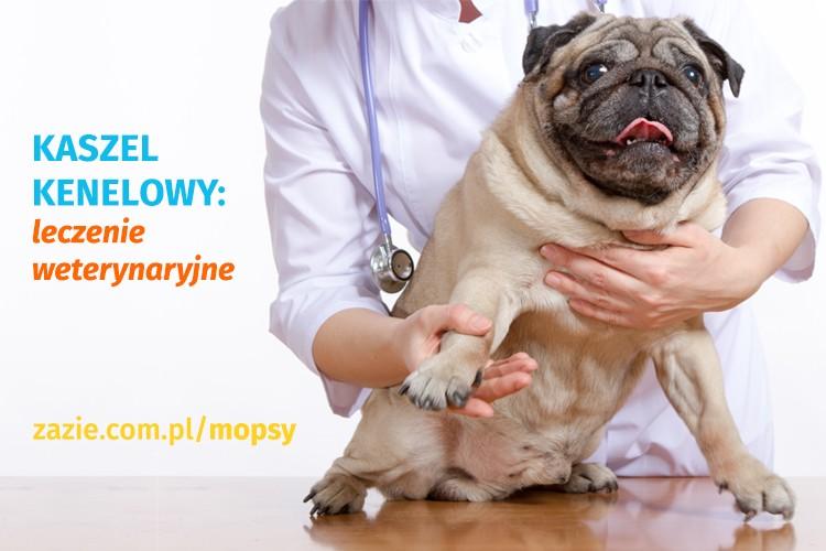 Kaszel kenelowy u psów, infekcje górnych dróg oddechowych u mopsów, mops się zapowietrza i ma problemy z oddychaniem, mops charczy i krztusi się